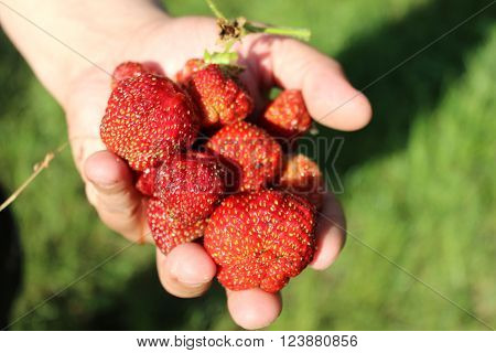 Strawberries in the mans' hand. Hand full of strawberries. Organic red berries grown in the home garden. ** Note: Shallow depth of field