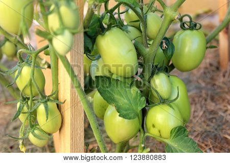 Green tomatoes growing in the garden. Green tomatoes growth in the orchard. Agriculture production of tomatoes. ** Note: Shallow depth of field