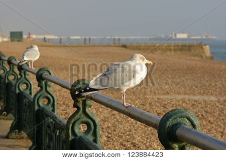 European Herring Gull on seafront promenade railing at Brighton East Sussex England