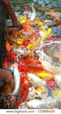 Feeding Koi fish with baby milk bottle at indoor ponds