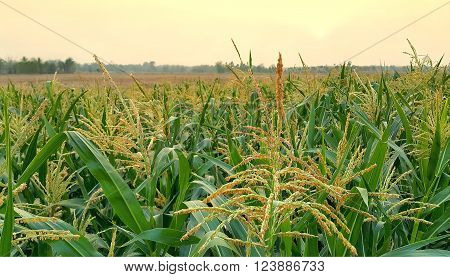 Corn inflorescence in the field during beautiful sunset
