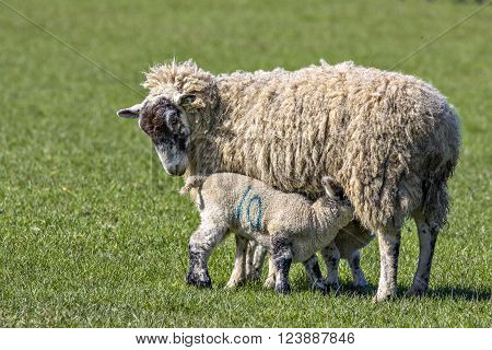 Two lambs suckling their mother on a sunny spring day