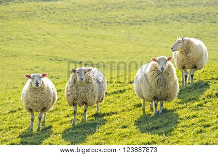 Four ewe sheep standing facing camera backlit on a sunny day