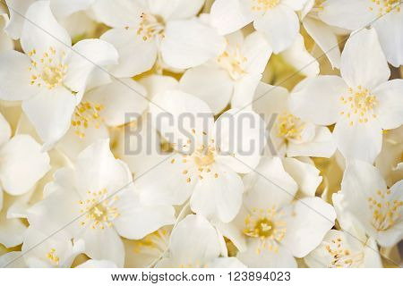 Seamless background of white jasmine flowers, macro image