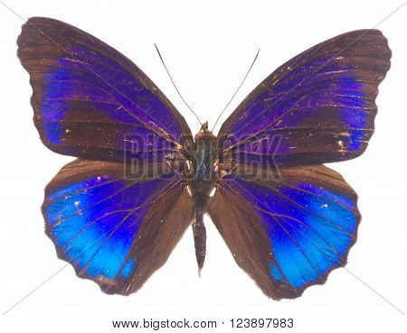 Morpho adonis blue butterfly isolated on white background