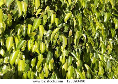 Green Leaf As A Background