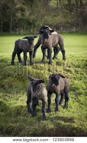 Lambs play in a field in the Purbeck Hills of Dorset