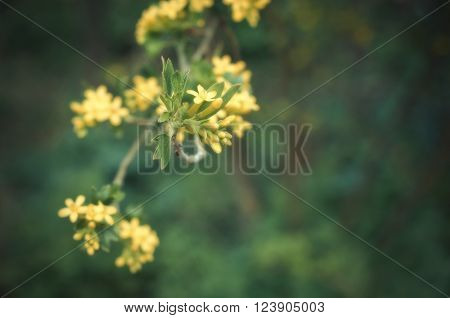 Flowering bush gooseberry. Branch with flowers on blurred dark green background