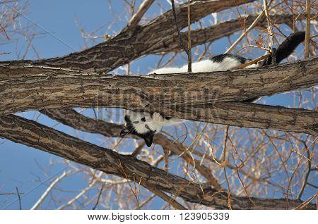 Playful, curious cat peeks around limb in willow tree