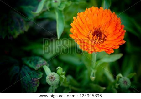 Calendula or English Marigold in the afternoon light.