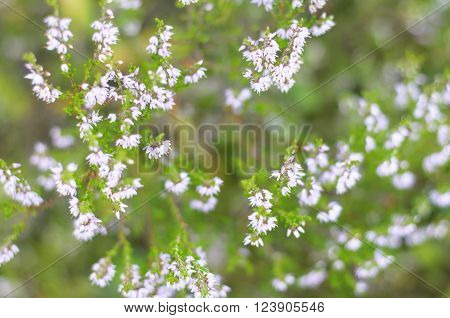 Pink Common Heather Blossoming Outdoors