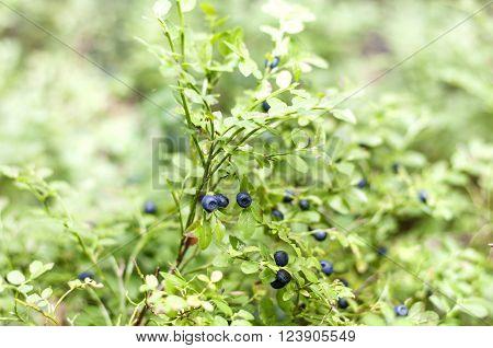 Bilberry On Green Vegetative Background In Wood