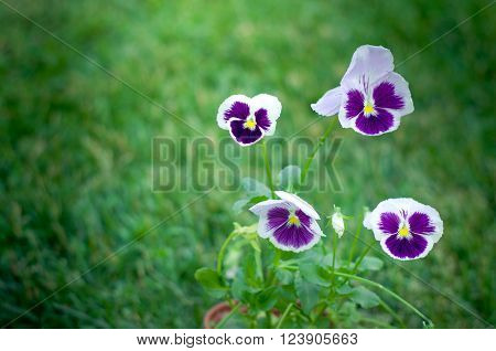 Viola tricolor. Botanic gardening plant nature image: pansy Can be used as wallpaper or postcard.