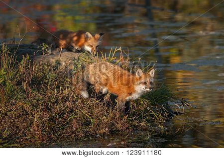 Red Fox (Vulpes vulpes) Gazes Out Another Behind - captive animals