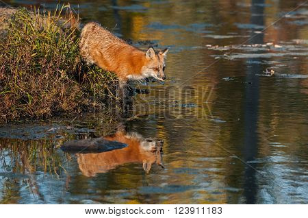 Reflected Red Fox (Vulpes vulpes) Steps into Water - captive animal