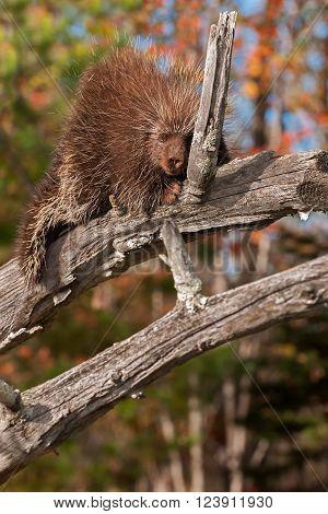 Porcupine (Erethizon dorsatum) Naps High Up on Branch - captive animal