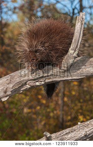 Porcupine (Erethizon dorsatum) Looks Down from High Branch - captive animal