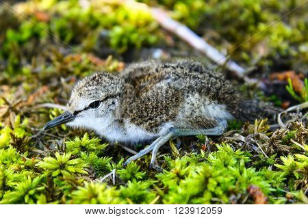 The Common Sandpiper chick. This cute  Common Sandpipers chick has left its nest under mother surveillance