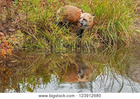 Red Fox (Vulpes vulpes) Looks Left with Reflection and Open Mouth - captive animal