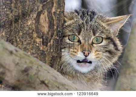 European wild cat (Felis silvestris silvestris) portrait