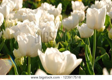 Sunlight on white tulips glowing bright with the morning sun