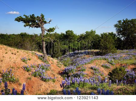 Bluebonnets grace the sides of a clay gully worn and eroded by water in central Texas hill country