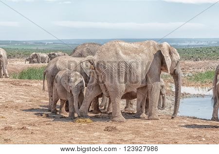Addo; Africa; Eastern Cape Province; Loxodonta africana; South Africa; Summer; african; animal; calf; conservation; elephant; fauna; herbivore; mammal; sunlight; sunny; wildlife;
