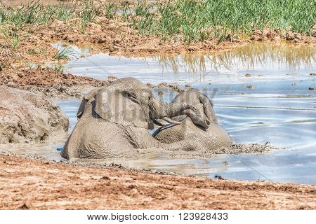 Two young elephants playing in a muddy waterhole