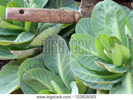 Green Cabbage Leaves In A Garden Without Pesticides