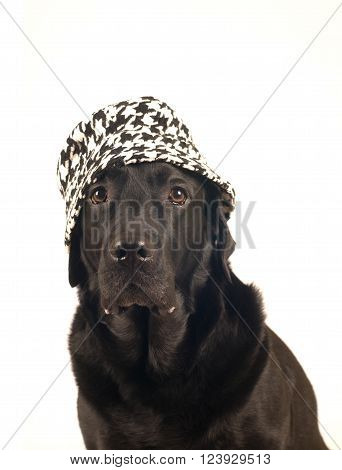 Black labrador retreiver portrait closeup in hat