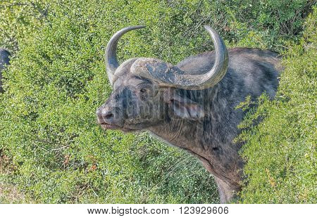 A Cape buffalo Syncerus caffer peeping out of dense bush