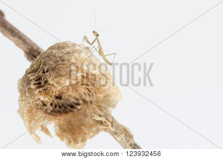 Praying mantis on egg case with white background.