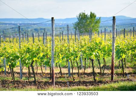 Vineyard Landscape With Hills In Pfalz, Germany