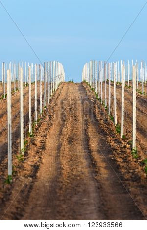 Young wine crops on a field in Germany Pfalz