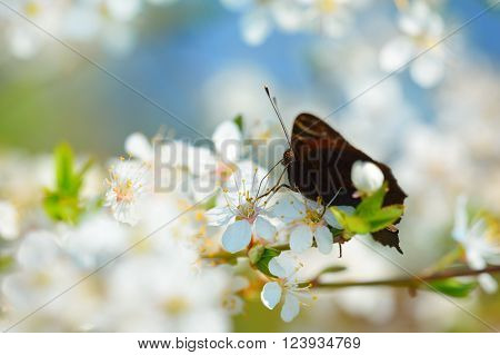Peacock butterfly feeding on a blooming cherry tree. Tender blurred spring scene.