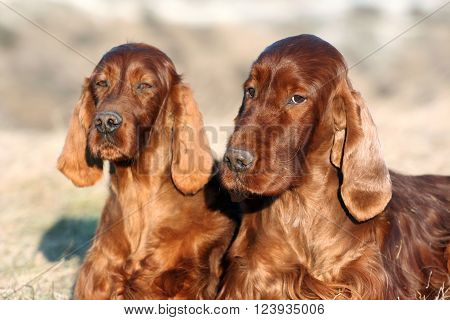 Beautiful Irish Setters looking at the camera ** Note: Soft Focus at 100%, best at smaller sizes