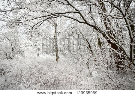 Winter Wonderland In Snow Covered Forest. Latvia