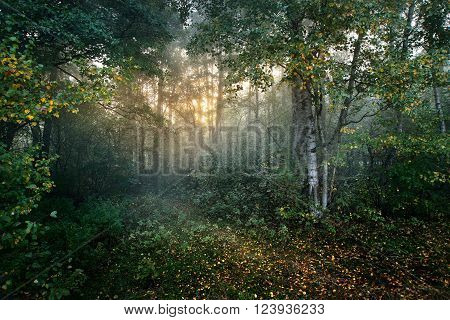 Strong beautiful morning fog and sunbeams in a deciduous birch tree forest