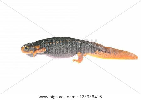 Black newt Tylototryton verrucosus isolated on white