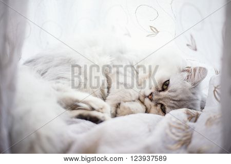 Angora cat is lying on a white bed