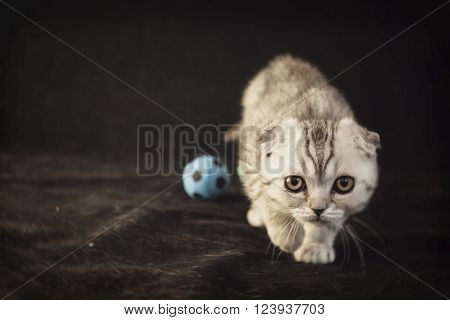 British lop-eared gray kitten is sneaking up along small footballs on a black background