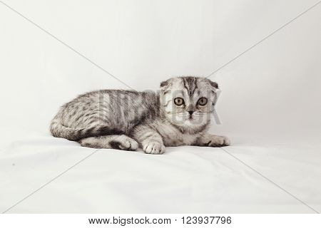 British lop-eared gray kitten is lying on a white background