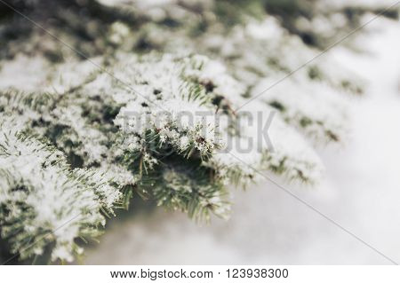 Snowfall and rime on spruce closeup background