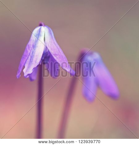 Siberian squill spring flower background with room for copy