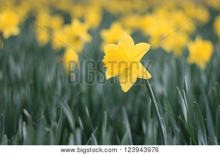 blooming yellow daffodil flowers / narcissus in early spring