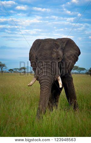 Big nice elephant mate serengeti adventure safari s