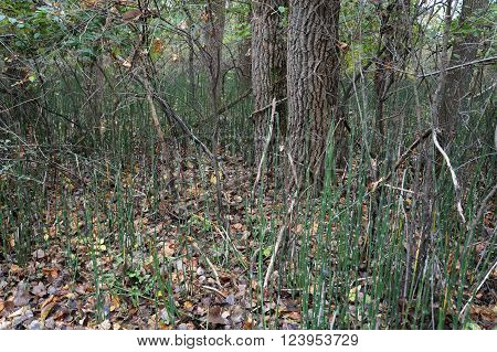 PLAINFIELD, ILLINOIS / UNITED STATES - OCTOBER 24, 2015: Equisetum hyemale, commonly known as rough horsetail, scouring rush, and scouringrush horsetail, grows in the Lake Renwick Heron Rookery Nature Preserve in Plainfield, Illinois.