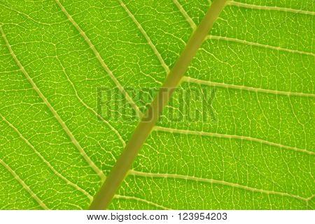 Close up photo of a backlit leaf showing nerves