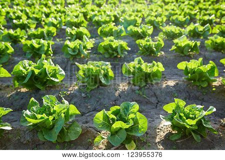 Green romain letuce field in a row in Mediterranean area
