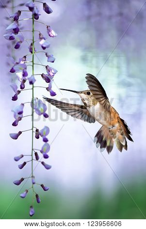 Delicate lavender petals of purple wisteria blooms with tiny Hummingbird